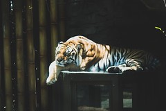 Napping Tiger