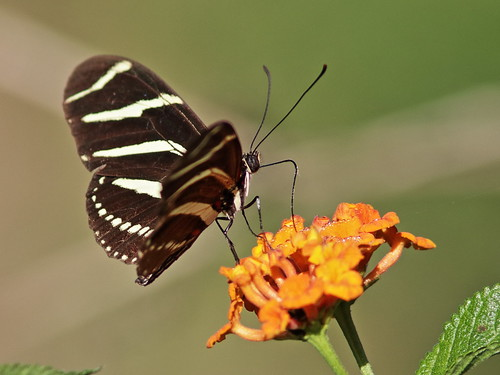 Zebra heliconian on Lantana 03-20180210