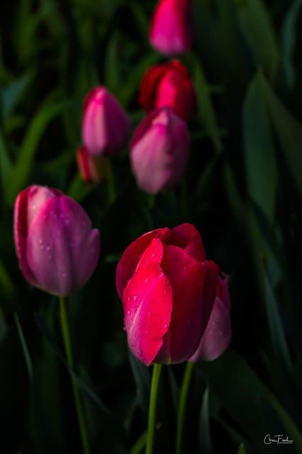 Flowers-Tulips-53.jpg
