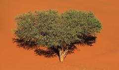 Desert Trees at Sossusvlei (7)