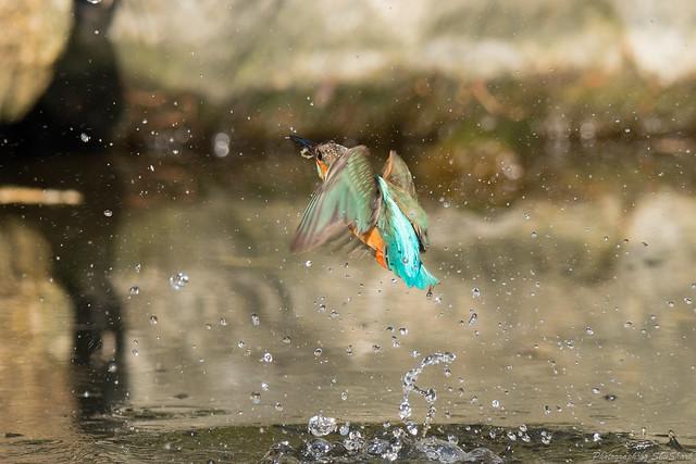 20180121-kingfisher-DSC_5129
