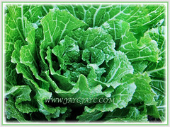 Green leaves of Brassica pekinensis (Chinese Cabbage, Napa Cabbage, Peking Cabbage, Celery Cabbage) seen from above, 12 Jan 2018