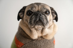 Molly the Pug wearing a sweater