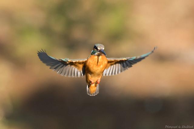 20180304-kingfisher-DSC_9491