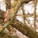 Kestrel, female or first year male- a heavy crop