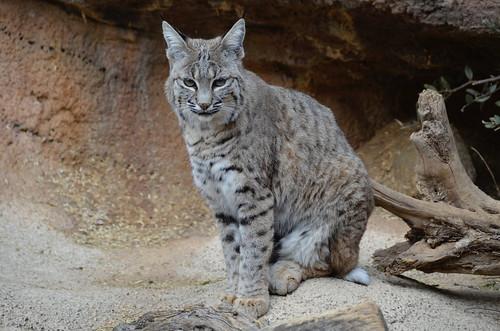 Desert Museum lynx 2
