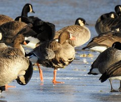 Greater White Fronted Goose on ice of Lake Artemesia