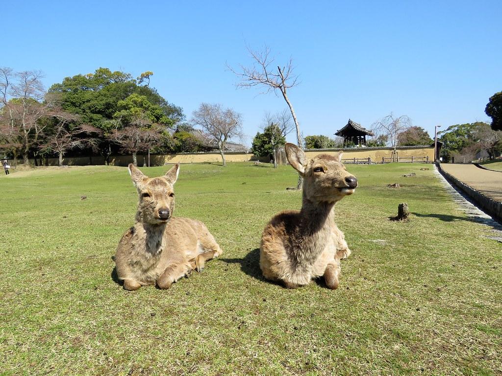 Nara Park Deer 27
