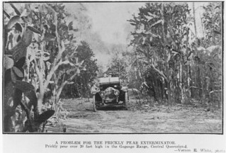 Prickly pear over 20 feet high in the Gogango Range Central Queensland 1921