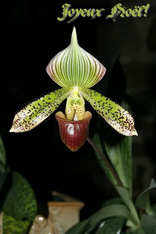 Les orchidées chez Sougriwa - Page 3 39109050174_214debe007_b