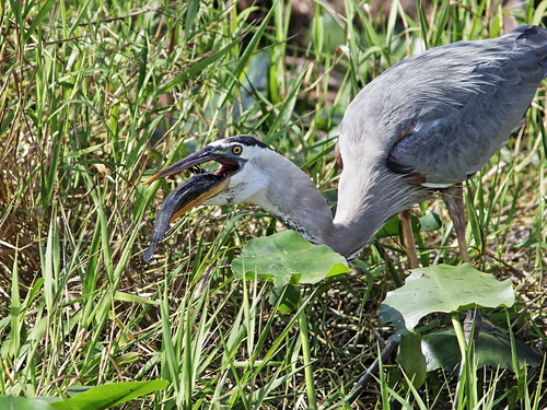 Great Blue Heron with Walking Catfish 003-20180209
