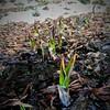 Photo:ミズバショウで有名な福島県田村郡三春町の真照寺。ASDで通所中の障害者就労継続支援B型事業所の帰りに寄ってみたら、春先に花開く水芭蕉達は、やっと伸び始めた幼い葉の先が傷んでた。今年は大寒波緩んだと油断したらまた大雪だったので雪に埋もれて傷んだんだと思う。まだ葉が出るし大丈夫と思いたい。 #snapseed By Atsushi Boulder