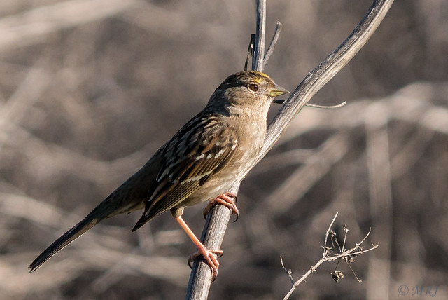 Winter Golden Crowned Sparrow