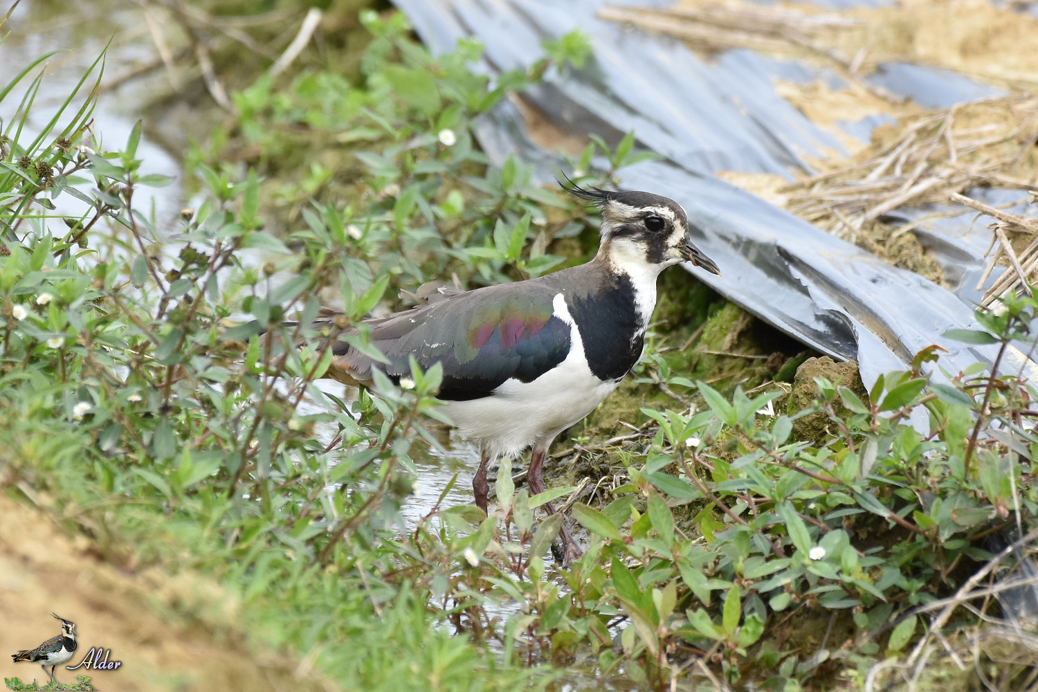 Northern_Lapwing_7475