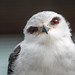 J77A6798 -- A Black-shouldered Kite at the birds sanctuary at Spier, Stellenbosch, South Africa by Nils Axel Braathen