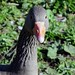 06 Greylag Goose