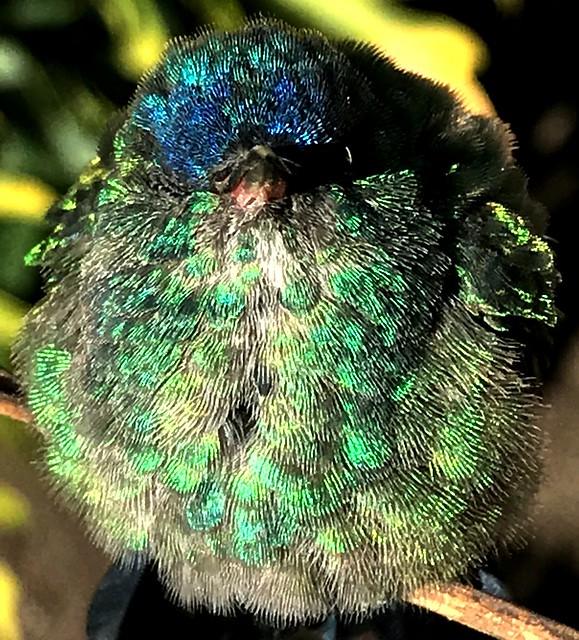 Header of Amazilia cyanifrons