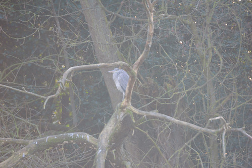 Young heron, watchful, West Park