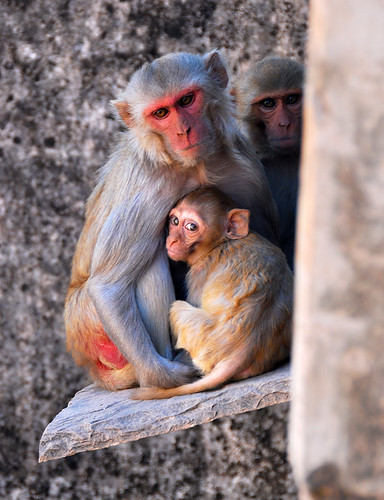 A monkey and its baby at Bundi Fort in India