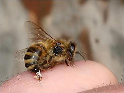 Obat Disengat Lebah Atau Tawon