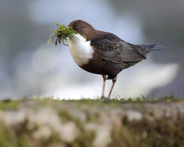 Dipper, Clare Glen, Canon EOS 7D MARK II, EF300mm f/2.8L IS II USM