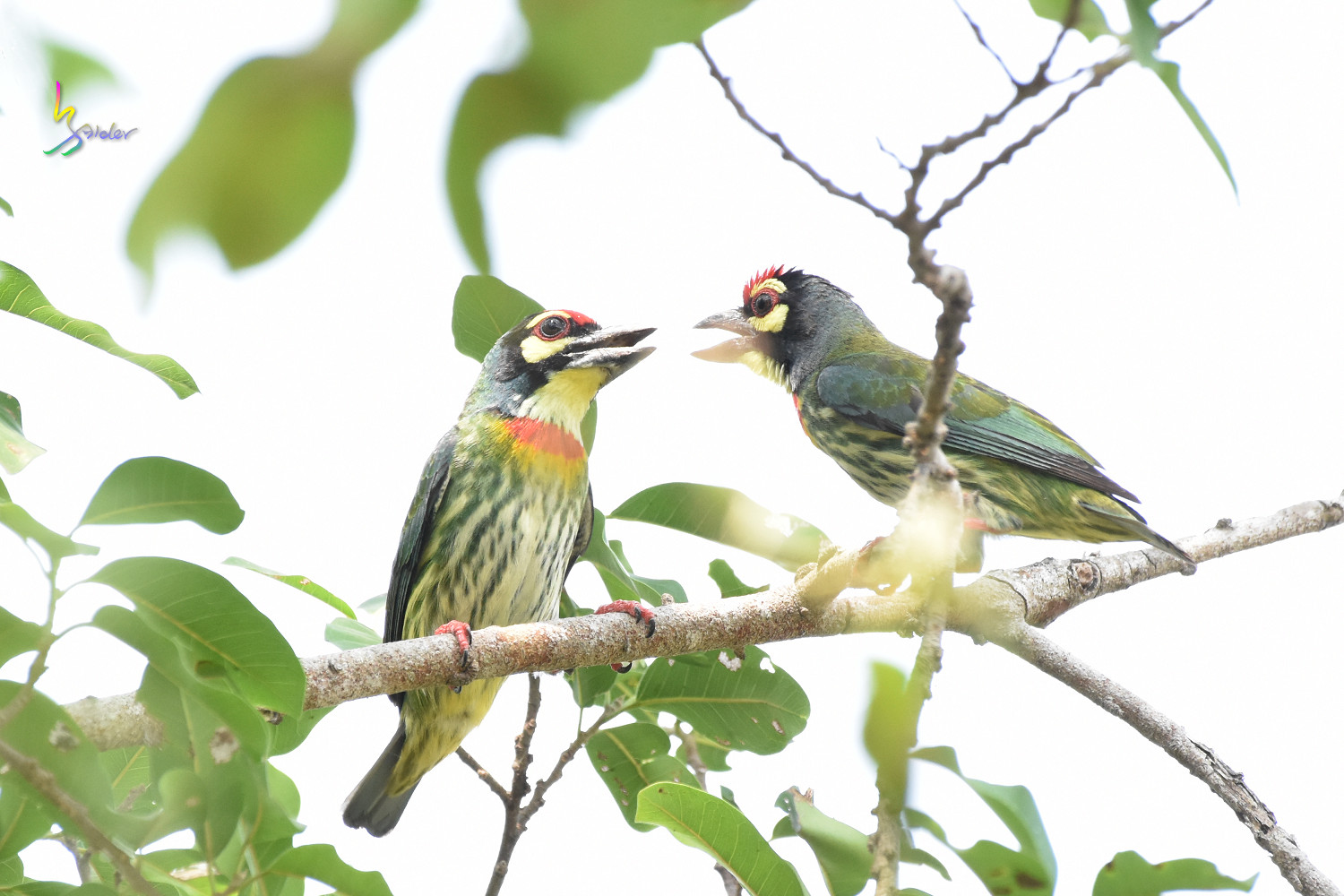 Coppersmith_Barbet_0238