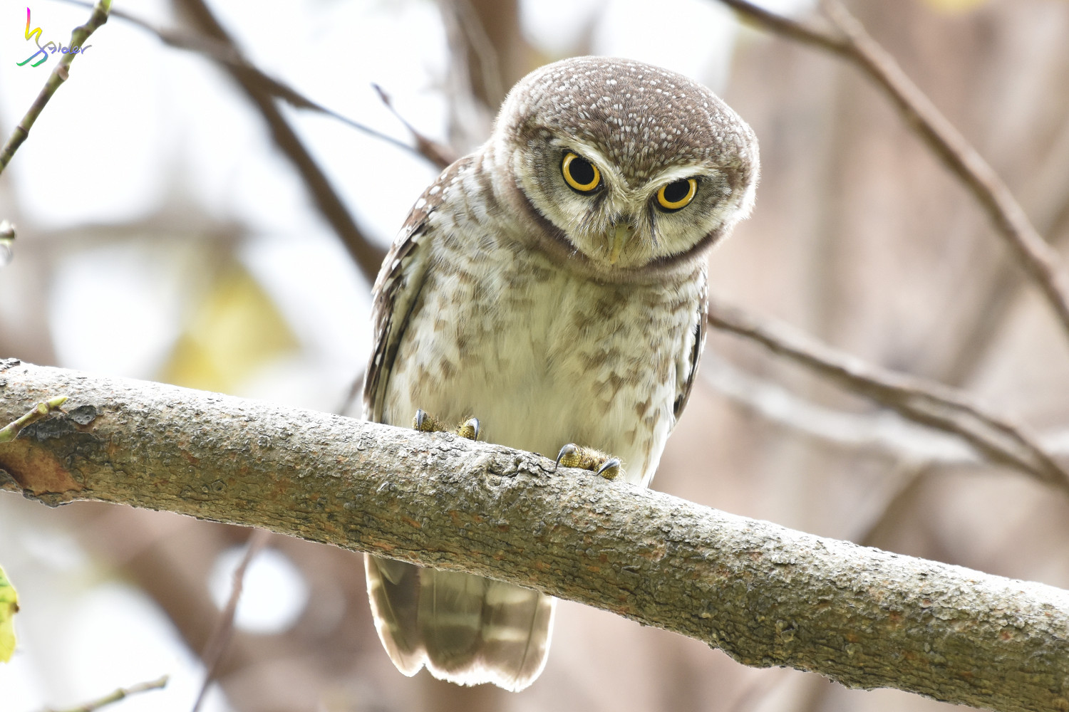 Spotted_Owlet_3748