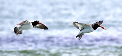 Pair of Oystercatchers Inflight