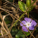Periwinkle with rose thorn_edited-1