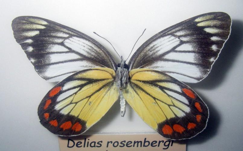 Delias rosenbergi 24923719637_7074b5b229_o