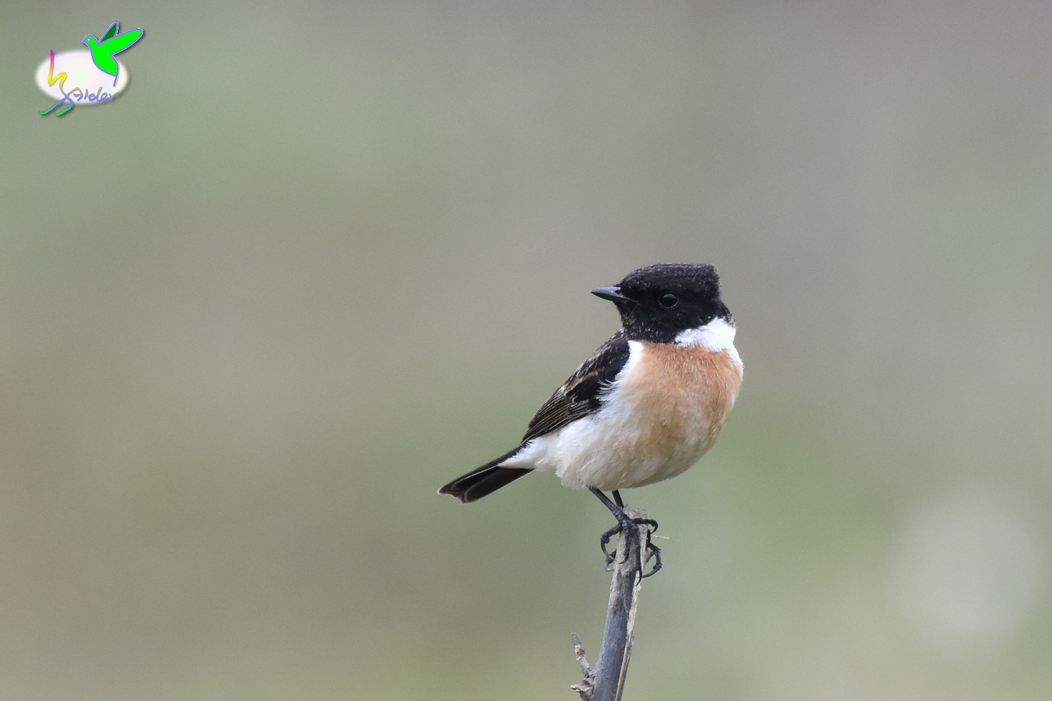 Common_Stonechat_9614