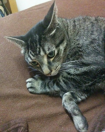 Shakespeare, pensive #toronto #dovercourtvillage #shakespeare #cats #catsofinstagram #catstagram #caturday