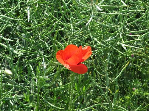 20170603 06 196 Regia Mohn Blume rot