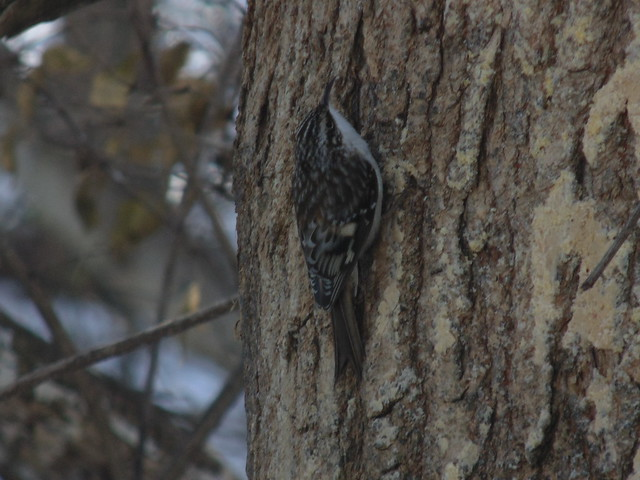 Brown Creeper at my, Sony DSC-H200