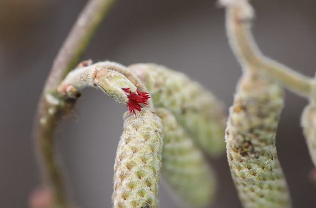 Corkscrew Hazel Flower