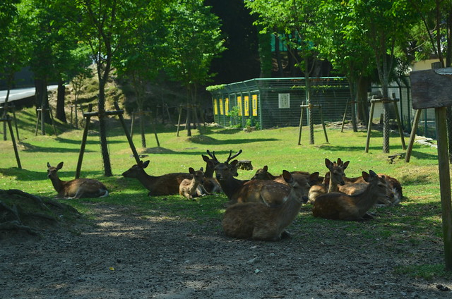 Nara, Japan: Deer Feeding and Todaiji Temple
