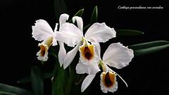Cattleya percivaliana var. coerulea 'Ondine' ?