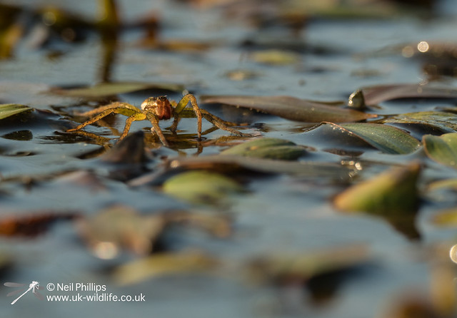 Raft spider at Thursley
