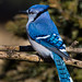 Blue Jay by insightimage