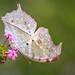 Butterfly #59.