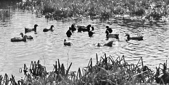 Ducks at Newton Dee