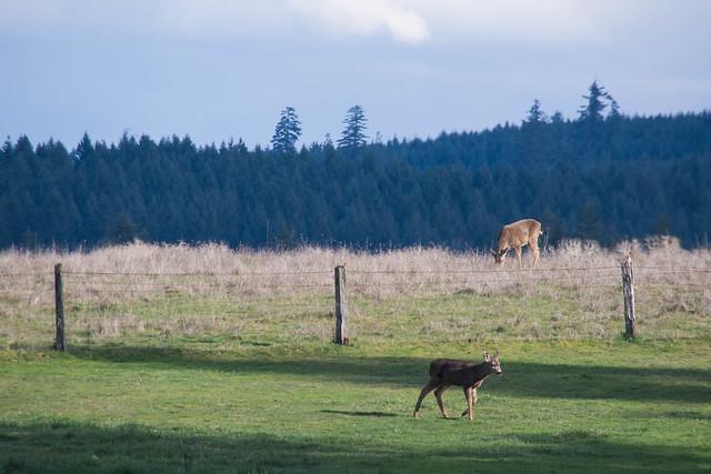 Deer, Nikon D7100, Sigma 18-250mm F3.5-6.3 DC OS HSM