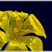 Golden crocus-2