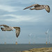 Seagulls_1270129
