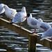 Black-headed gulls lining up, West Park