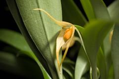 [Papua New Guinea] Bulbophyllum ankylochele J.J.Verm., Orchid Monogr. 7: 152 (1993)
