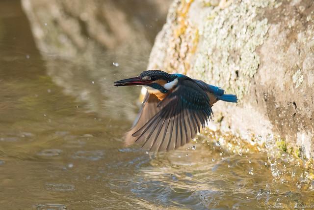20180211-kingfisher-DSC_8156