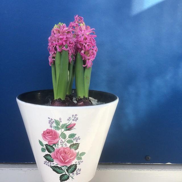 Roze hyacint in pot met rozen