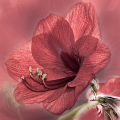 Amaryllis artwork.