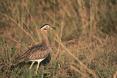 Double striped thick-knee